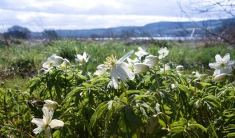 Havoc meadows filledwith Wood Anemone