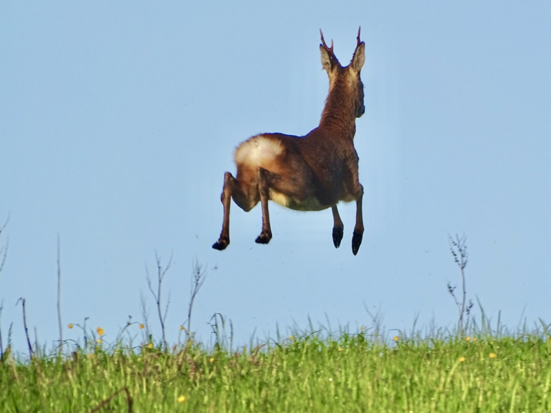 photo of a leaping roe deer