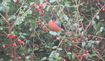 Mr Bullfinch in a bush